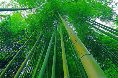 50 Fresh Moso_Bamboo_Seeds Phyllostachys Pubescens Giant Bamboo rare