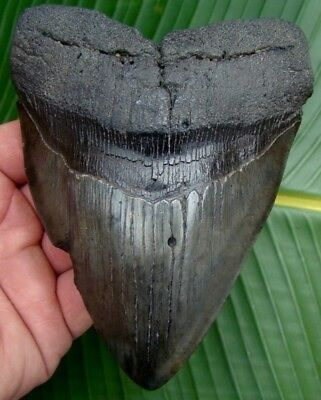 Megalodon Shark Tooth  HUGE  5 & 3/16  REAL Fossil Sharks Teeth SERRATED