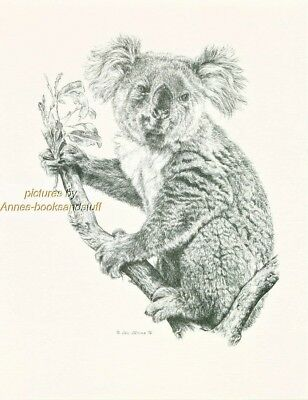 #145 KOALA * wildlife  art print  *  pen & ink drawing by Jan Jellins