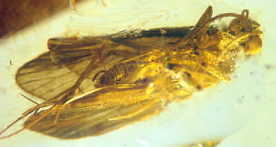 Huge Fossil Insect-Trichoptera- In Baltic Amber 45-55 Millions Years Old(8049 )