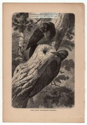 Great Black Woodpeckers Exploring Original c1895 Print