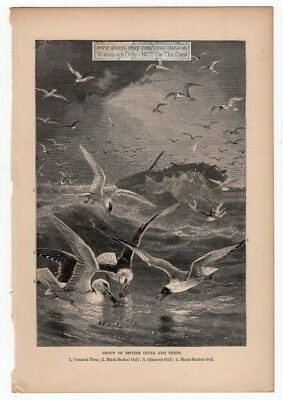 Group OF British Gull and Terns Original c1895 Print