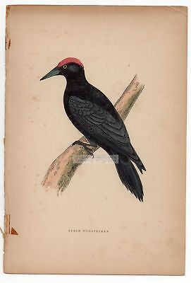 Black Woodpecker Bird  Original c1860 Morris Hand Colored Print