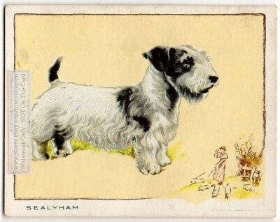 Sealeyham Terrier Dog  80+ Y/O Trade Ad Card
