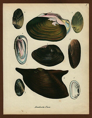 Muscheln Shells Cocquillages No 2, Farblithographie ca. 1860