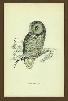 Eule Owl Chouette  No 2, engl Farblithographie ca. 1870