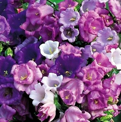 80 graines CAMPANULE CARILLON H246 CANTERBURY BELLS SEEDS SAMEN Campanula Medium