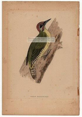 Green Woodpecker Original c1860 Morris Hand Colored Print