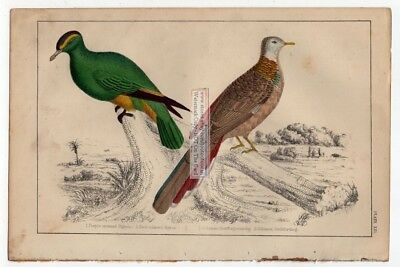 Purple Crowned and Red Collared Pidgeon c1860 Hand Colored Litho Print