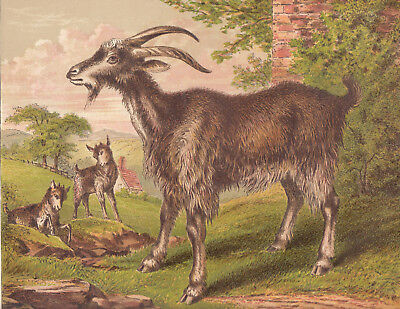 Goat With Kid Goats Playing In Meadow Animals Antique  Lithograph Art Print 1873