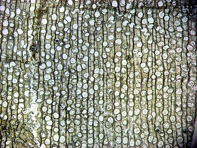 Miocene Dipterocarpus fossil petrified wood plant THIN SECTION great cell detail