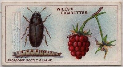 Raspberry Beetle Fruit Insect Plant Pest 100+ Y/O Trade Ad Card