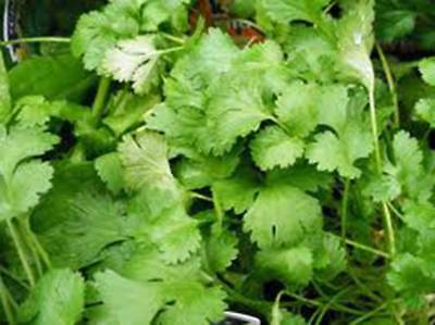 Cilantro Seed, Slow Bolt, Heirloom, Organic 25+ Seeds, Non Gmo, Great Herb/Spice