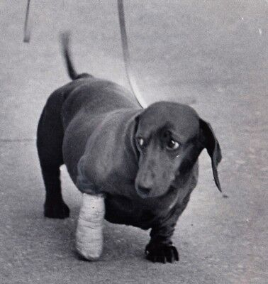 DACHSHUND after Foot Operation Dackel Sausage Dog Teckel * US Press Photo 1973