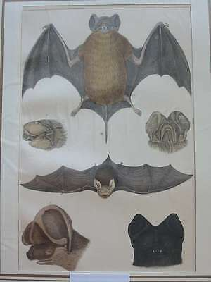 84247-Tiere-Animals-Zoologie-Fledermaus-Bat-Hand Koloriert-Hand coloured