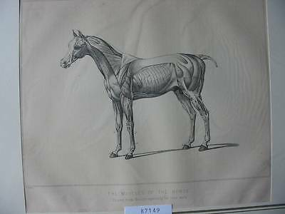 87149-Tiere-Animals-Pferd-Horse-Muscles-Muskeln-Holzstich-wood engraving