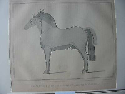 87139-Tiere-Animals-Pferd-Horse-Proportions-Holzstich-wood engraving