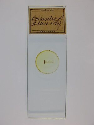 Antique Microscope Slide by Norman. Ovipositor of House Fly.
