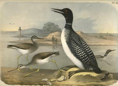 1878 Theodore Jasper Northern Diver Loon Antique Color Lithograph Bird Print
