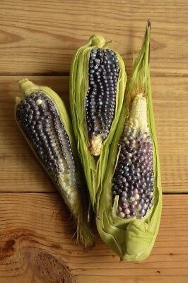 BABY CORN 'Blue' 20+ seeds POPCORN RARE vegetable garden in POTS mini UNUSUAL