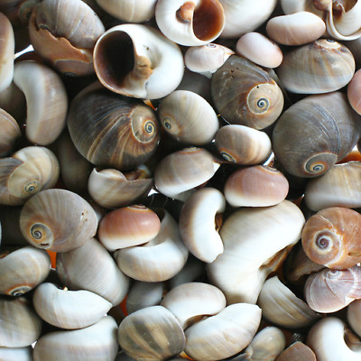 Assorted Brown Moonshell- 100g, Craft Shells, seashells, Hobby, shell snails