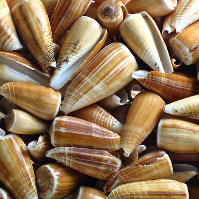 Assorted Brown Radiatus Cone- 100g, Craft Shells, seashells, Hobby, shell snails