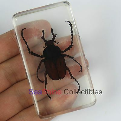 Insect Specimen-Long Arm Scarab Beetle Scarabaeidae  73*41mm