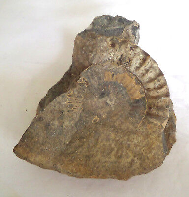 Ammonite Nautilus Shell Fossil Partially Visible In The Stone Display Specimen