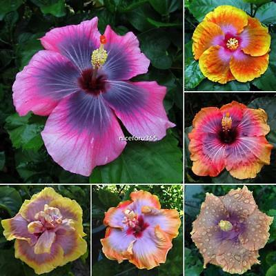 100x Rainbow Hibiscus Seeds Exotic Coral Giant Flower Rare Colors Decor New Nice