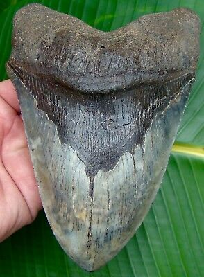 6 & 3/4 in. MONSTER Megalodon Shark Tooth  - 100% Natural - No Repair or Resto!
