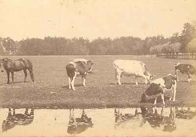 Country Study Cows Horse Netherlands old Photo 1890 Vaches Pré Pays-Bas