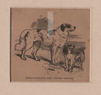 Original c1857 Newfoundland  and Water Spaniel  MATTED  Engraved Dog Print