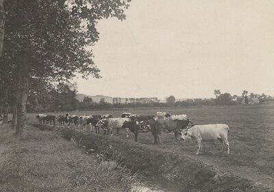 Dieppe Cow Cattle Country Scene Snapshot Instantaneous 1900 Vaches Normandes