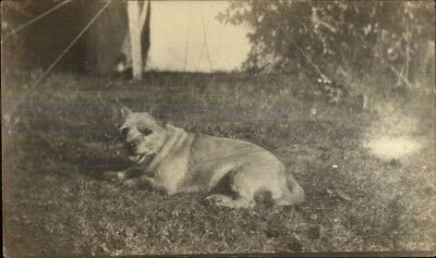 Cute Little Terrier Dog c1910 Real Photo Postcard