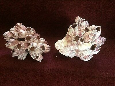 Purple Barnacle coral  cluster Sea Shell