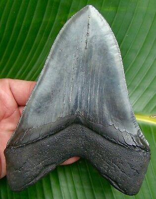 6 & 1/4 in. HUGE Megalodon Shark Tooth  REAL Fossil Sharks Teeth