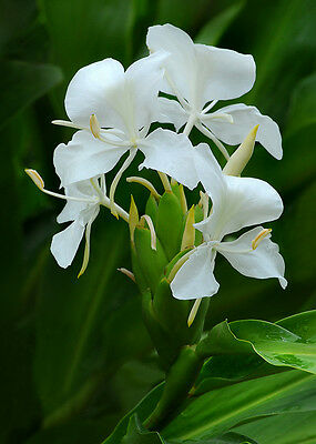 2 White Butterfly Ginger Plant Fragrant Perfumed pretty Edible roots and flowers