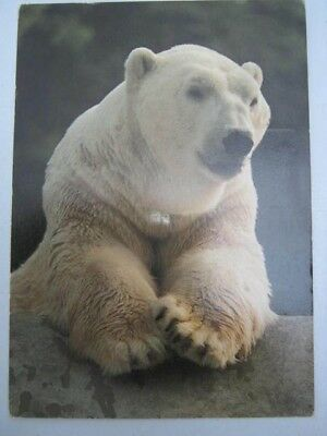 Hellabrunn Tierpark Zoo Postcard of Polar bear Zoological