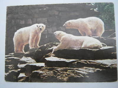 Berlin Zoo Postcard of Polar bears Zoological