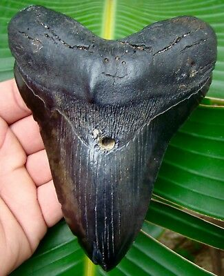 Megalodon Shark Tooth  5 & 3/8 in.  REAL Fossil Sharks Teeth 3/4 of a FULL POUND