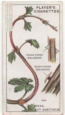 Beer Hops Vines Twine and Cling To Grow 90+ Y/O Trade Ad Card