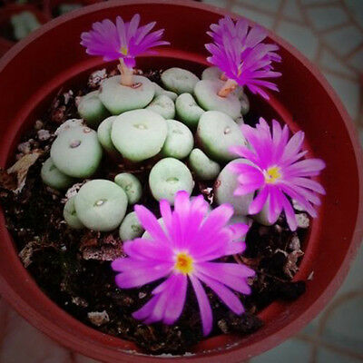 100 Rare Mix Lithops Seeds Living Stones Succulent Cactus Green Bulk Seeds