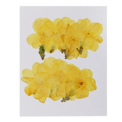 10pcs Pressed Real Winter Jasmine Dried Flowers for Jewelry Making Crafts
