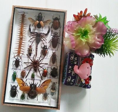 Real Bug Beetles Cicada Spider Insect Taxidermy Display in Framed Box New Gift
