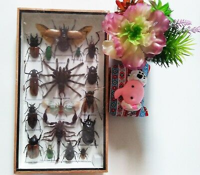 Rare Real Mounted Insect Boxed Rare Insects Display Taxidermy Entomology Zoology