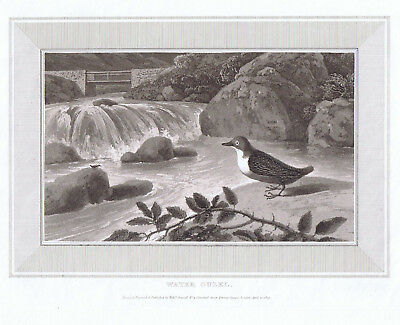 """1809 William Daniell Antique engraving """"WATER OUZEL"""" Original Plate print"""