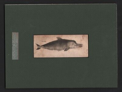 Original 1792 Dolphin MATTED Engraved Print Fish