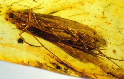Huge Fossil Insect-Trichoptera- In Baltic Amber 45-55 Millions Years Old(8217 )