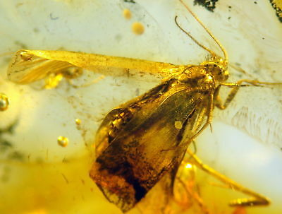 Huge Fossil Insect-Trichoptera- In Baltic Amber 45-55 Millions Years Old(8184 )
