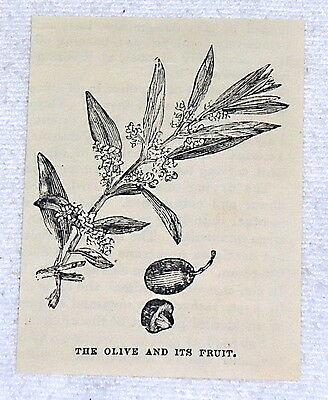 small 1882 magazine engraving ~ THE OLIVE & ITS FRUIT